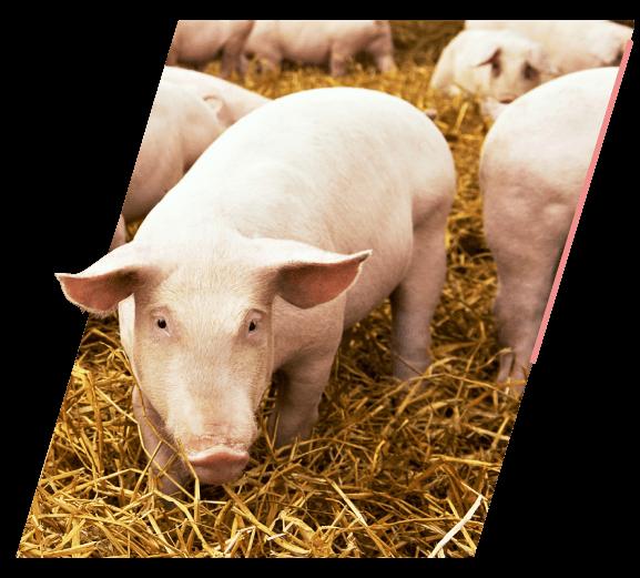 Cerdo Porcicultura